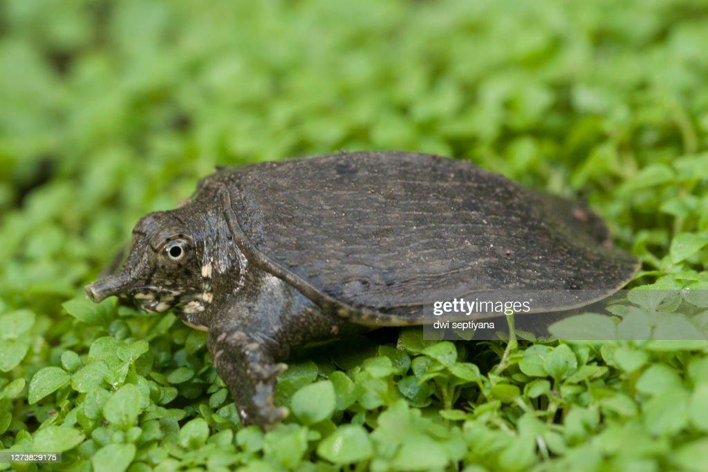 Common softshell turtle or asiatic softshell turtle (Amyda cartilaginea) : Stock Photo
