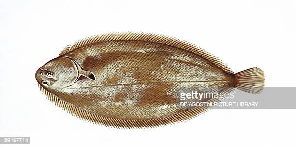 Common sole or Dover sole illustration