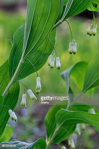 Common Solomon's Seal / David's harp in flower