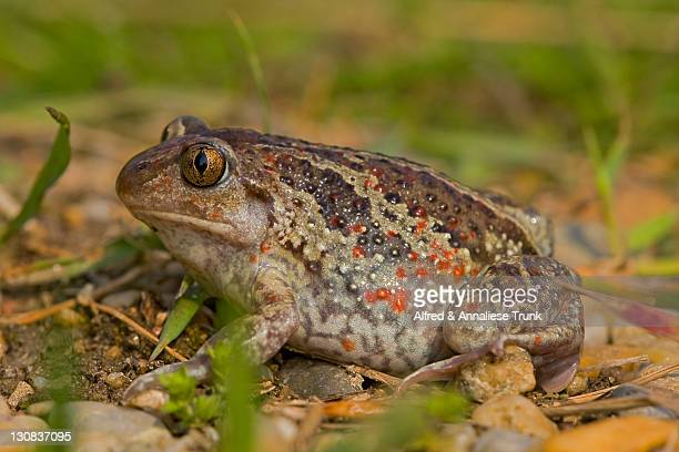 common spadefoot (pelobates fuscus), burgenland, austria, europe - vista lateral stock pictures, royalty-free photos & images