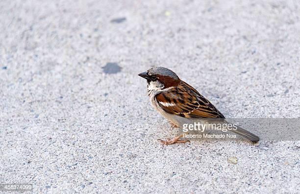 Common Sparrow bird in city sidewalk during Spring Season