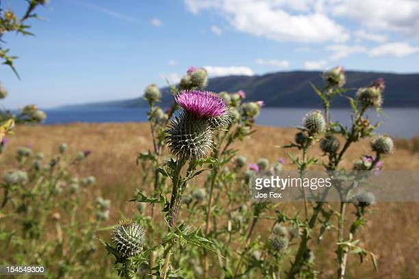 Common spear thistle (Cirsium vulgare), Loch Ness