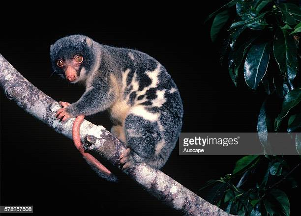 Common spotted cuscus Spilocuscus maculatus in tree at night Iron Range Cape York Peninsula Queensland Australia