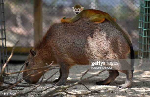A common squirrel monkey rides on the back of a capybara at the Tobu Zoo in Miyashiro Saitama prefecture north of Tokyo on August 22 2015 AFP PHOTO /...