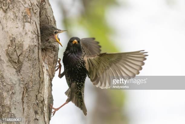 common starling chick and parent - becco foto e immagini stock