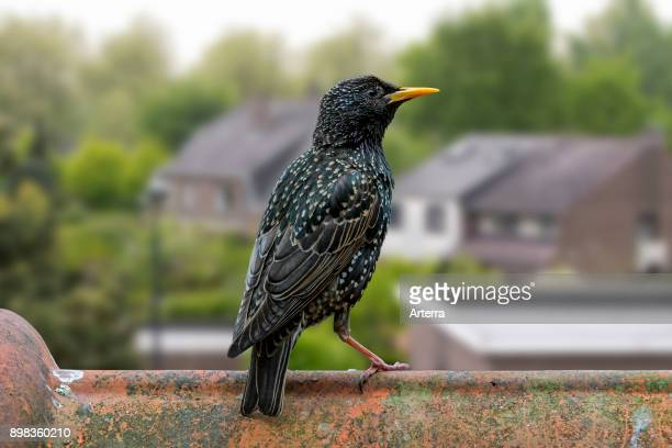 Common starling / European starling female perched on roof tile of house