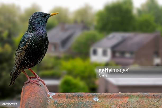 Common starling / European starling male perched on roof tile of house