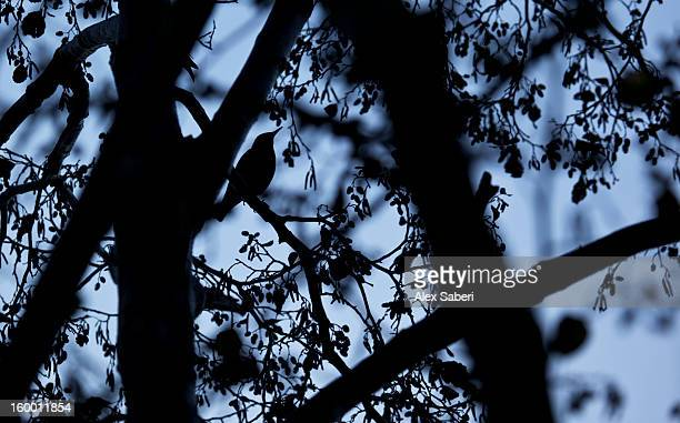 a common starling, sturnus vulgaris, calls out from a tree. - alex saberi stock pictures, royalty-free photos & images