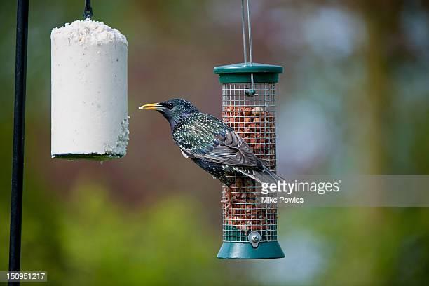 Common Starling Sturnus vulgaris on bird feeder