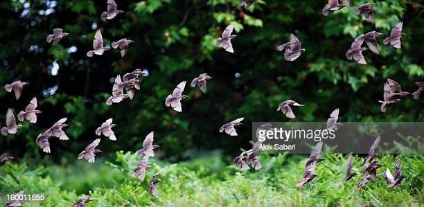 common starlings, turnus vulgaris, flying in a large group. - alex saberi 個照片及圖片檔