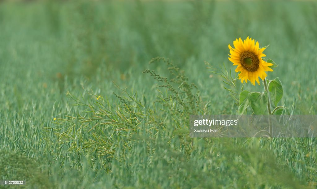 Common Sunflower blooms in Spring in meadow : Stock Photo