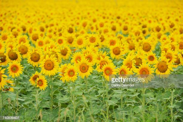 Common Sunflower (Helianthus annuus) field in bloom, Texas, USA