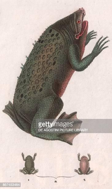 Common Suriname toad or Starfingered toad colour copper engraving retouched in watercolour 9x15 cm from Dizionario delle scienze naturali compilato...