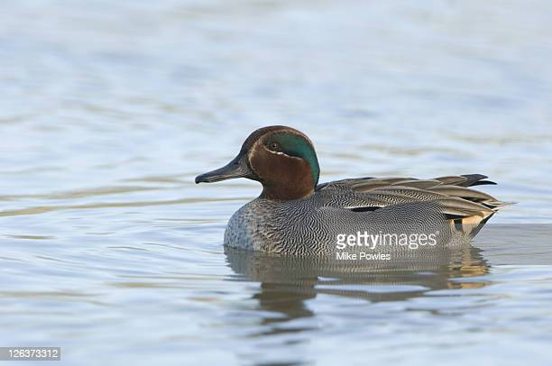 Common Teal (Anas crecca) adult female, Norfolk, UK
