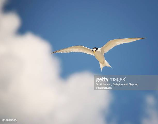 Common Tern Against Blue Sky and White Clouds