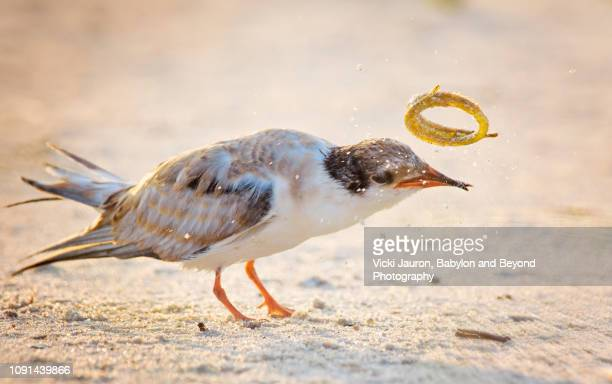common tern chick tossing a needlefish into the air at nickerson, long island - aguja imperial fotografías e imágenes de stock