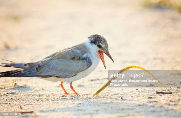 common tern chick yelling at a needlefish at nickerson beach, long island - aguja imperial fotografías e imágenes de stock