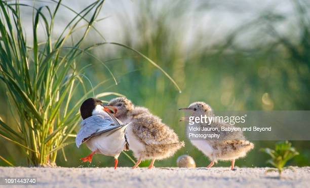 common tern chicks being fed breakfast at nickerson beach, long island - rookery stock pictures, royalty-free photos & images