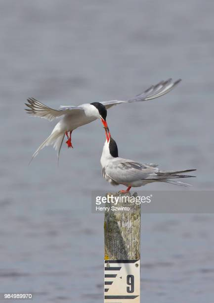 a common tern feeding it's mate in keyhaven, pennington, oxey and normandy marshes, hampshire, england, north america. - lymington stock photos and pictures