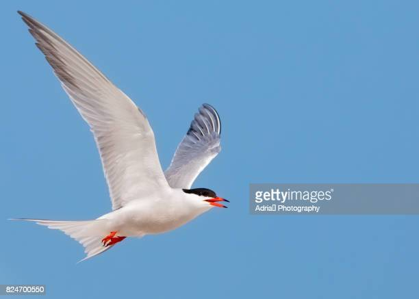 Common Tern  (Sterna hirundo) in flight