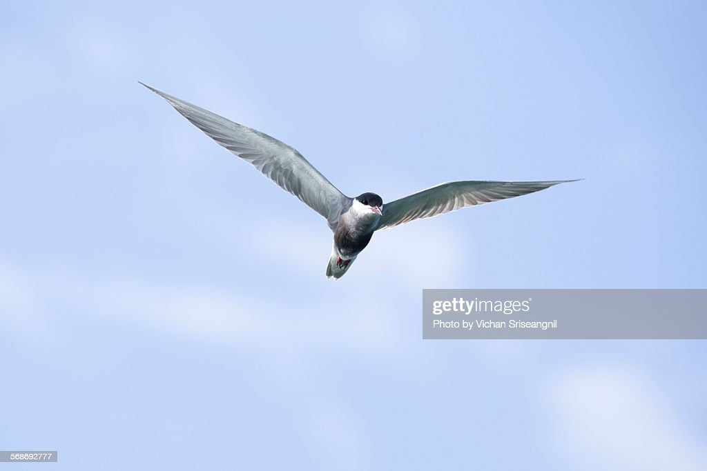 Common tern in gulf of Thailand : Stock Photo