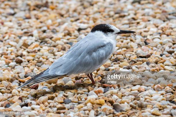 Common tern in nonbreeding plumage on shingle beach in late summer