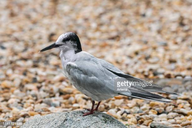 Common tern in nonbreeding plumage perched on boulder on shingle beach in late summer