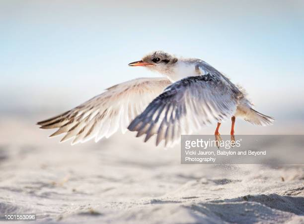 common tern juvenile attempting flight at nickerson beach - long island stock pictures, royalty-free photos & images