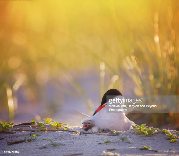 common tern mother looking lovingly at chick at nickerson beach, long island - zeevogel stockfoto's en -beelden