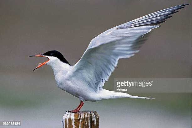 Common tern perched on pole with wings spread and calling Belgium