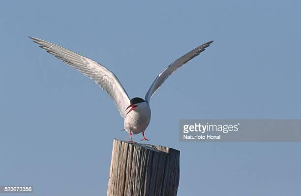 common tern - delta del ebro fotografías e imágenes de stock