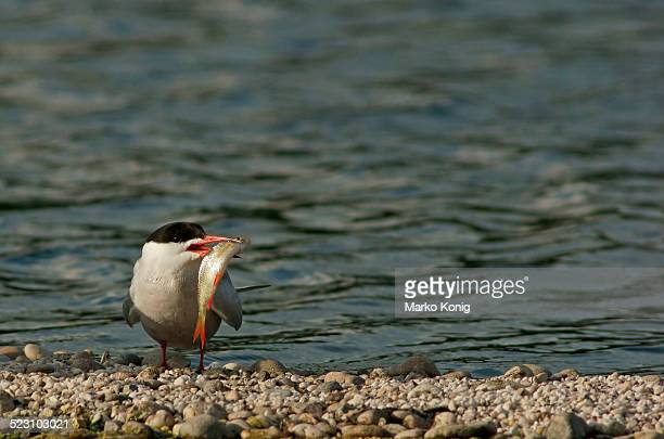 common tern -sterna hirundo-, mecklenburg-western pomerania, germany - animal digestive system stock photos and pictures