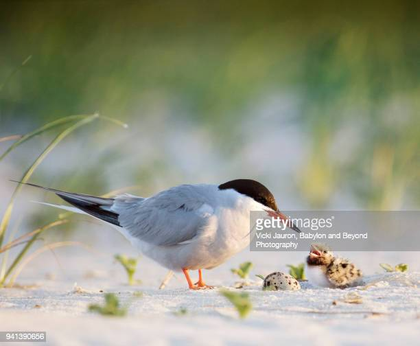 Common Tern with Chick and Egg at Nickerson Beach, Long Island