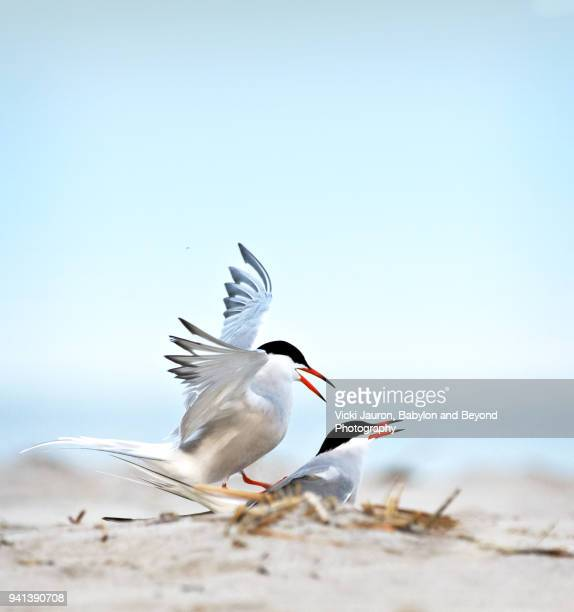 common terns mating on the beach against beautiful sky - jones beach stock-fotos und bilder