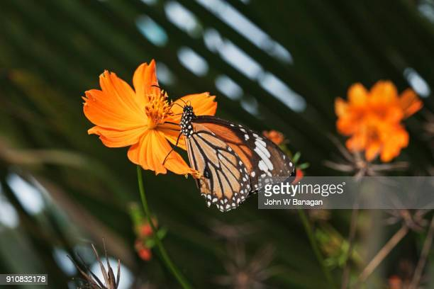 Common Tiger butterfly , Kep,