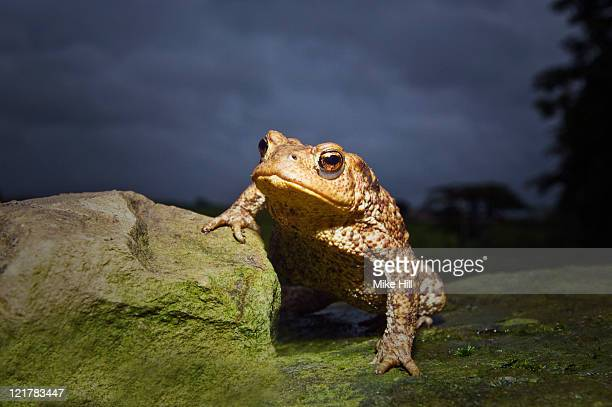 Common Toad (Bufo bufo), Devon, UK