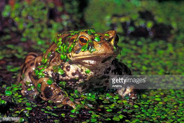 Common toad / European toad covered in duckweed in pond
