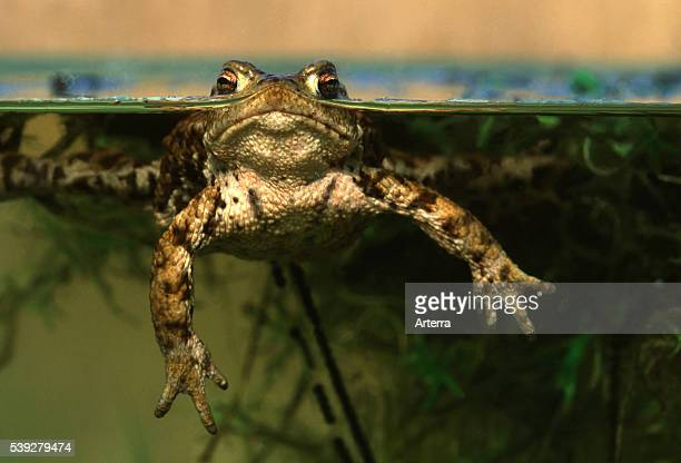 Common toad / European toad floating in pond