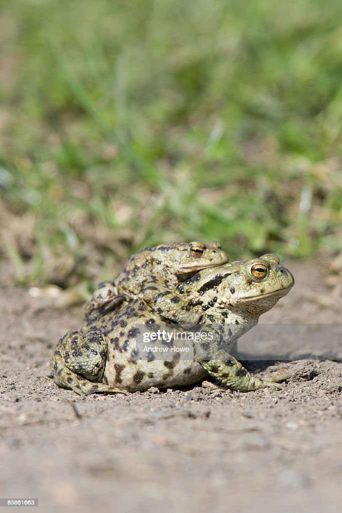 Common Toad (Bufo bufo) : Stock-Foto