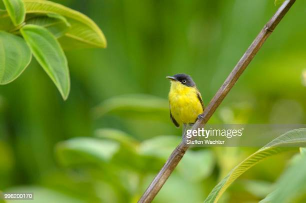 Common Tody-Flycatcher (Todirostrum cinereum) perched on a branch, Alajuela Province, Costa Rica