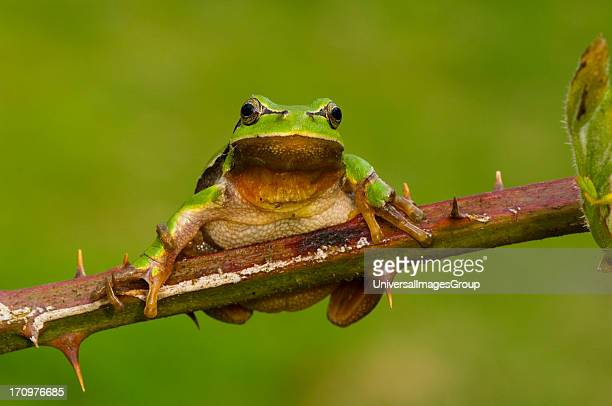 Common Tree Frog Hyla Arborea on branch Praestoe Denmark