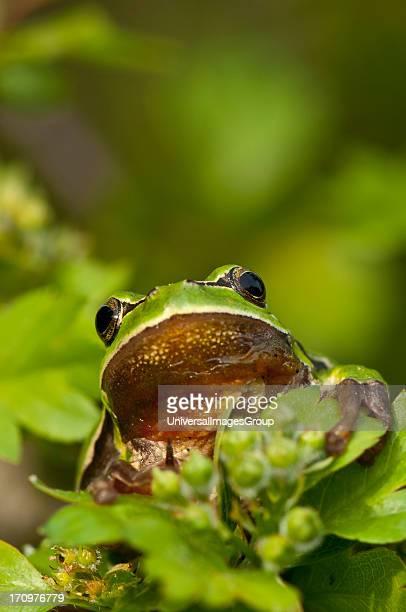 Common Tree Frog Hyla Arborea on branch Praestoe Denmark
