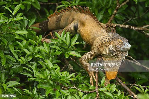common tree iguana_joe_6990 - green iguana ストックフォトと画像