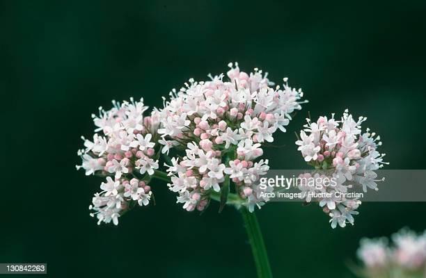 Common Valerian, North Rhine-Westphalia, Germany (Valeriana officinalis)