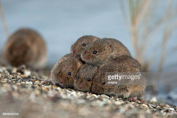 Common voles huddling together on dyke and seeking refuge at spring tide near the Wadden Sea the Netherlands