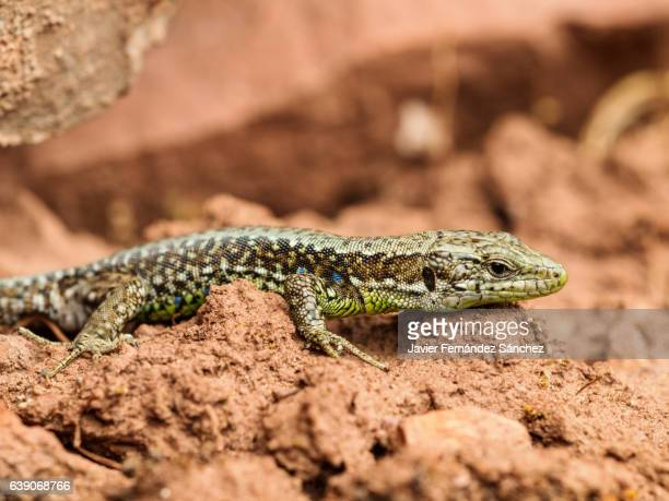 A common wall lizard (Podarcis muralis).