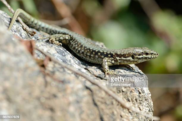 common wall lizard -podarcis muralis-, departement cotes-d?armor, brittany, france - squamata stock photos and pictures