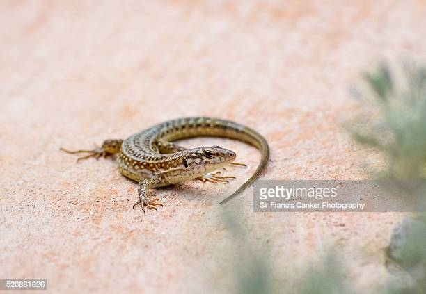 Common wall lizard (Podarcis muralis) posing in Ibiza, Spain