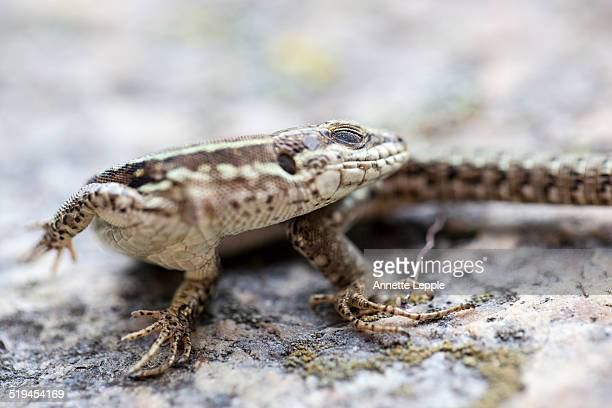 Common wall lizard sunbathing on a rock