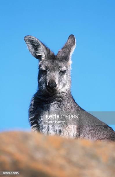 Common Wallaroo, Macropus robustus, Marsupial. Australia.